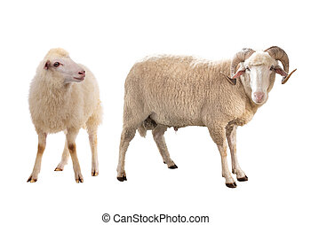 two sheep isolated on white
