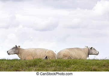 two sheep lie in grass under cloudy sky in holland