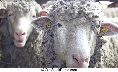 Two sheep looking at camera - Close up of sheep head looking...