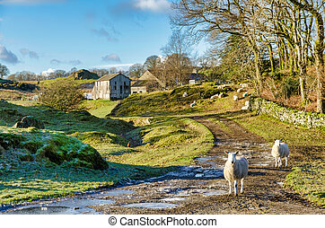 Two sheep on a farm in Winter