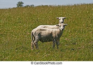 Two sheeps in Bodmin Moor, U.K.