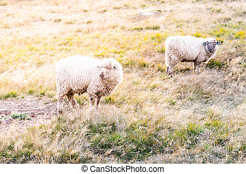 Two sheeps on a pasture. Mountain agricultural farming