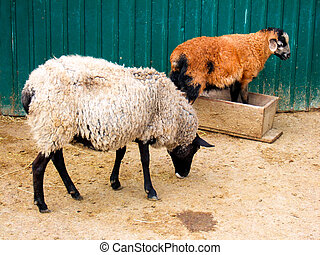 Two sheeps on farm backyard - Two sheeps in farm backyard.