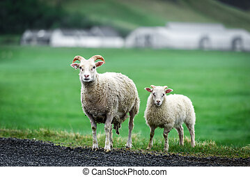 Two sheeps on green meadow