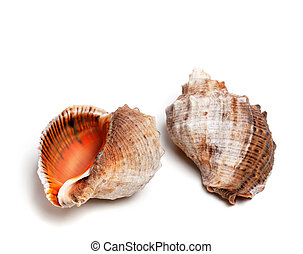 Two shells from rapana venosa