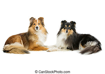 Two sheltie dogs - Two beautiful sheltie dogs isolated over ...
