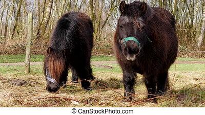 Two shetland pony's eating