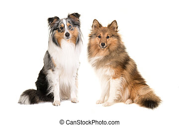 Two shetland sheepdogs in different colors