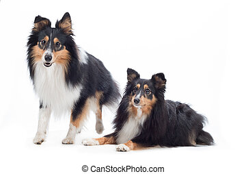 Two Shetland Sheepdogs, isolated