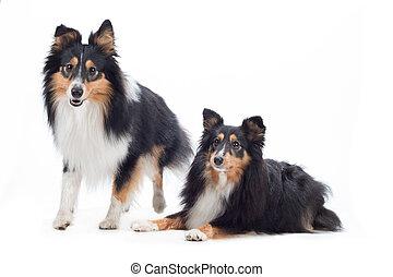 Two Shetland Sheepdogs, isolated