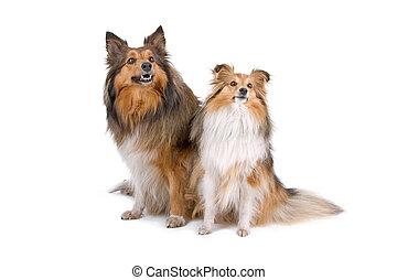 two shetland sheepdogs (sheltie)