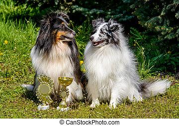 Two Shetland Sheepdogs.