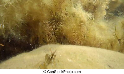 Two shrimps and goby fish