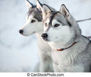 Two siberian husky dogs closeup portrait