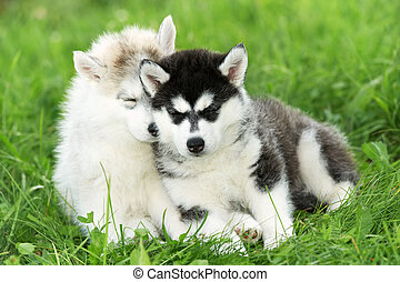 two Siberian husky puppy on grass - two little sleeping...