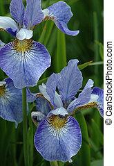Siberian irises - two Siberian irises in a garden