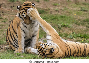 Two Siberian tigers playing on the grass, two yellow tigers playing happily on the grass