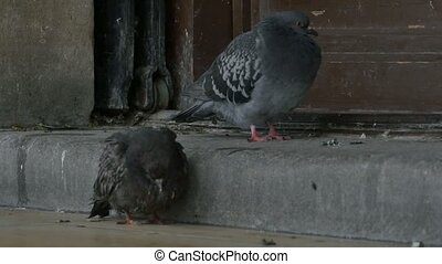 Two Sick Pigeons - Two sick pigeons freezing on the...