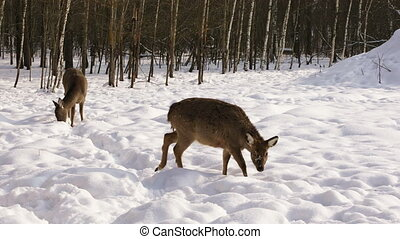 Two Sika deer in the winter forest