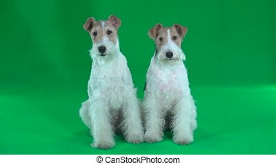 Two sitting fox terriers. Green screen - Two fluffy fox...