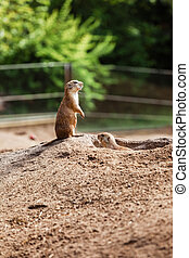 two sitting natural marmots looking in opposite directions. Curious european suslik posing to photographer. little sousliks observing