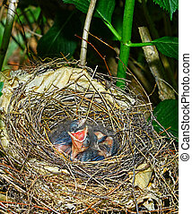 Two sleeping Baby Cardinals and one hungry one in their nest...