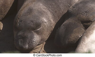 Two Sleeping Elephant Seals - Handheld, close up shot on the...