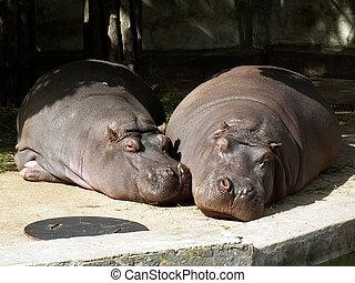 hippos - two sleeping hippos