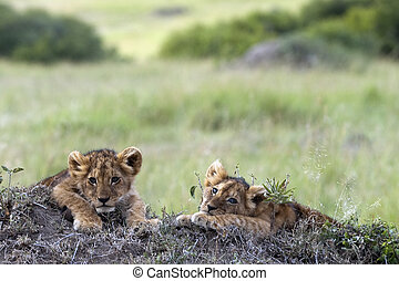 Two sleepy lion cubs
