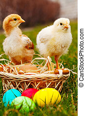 Two small baby chickens with colorful Easter eggs