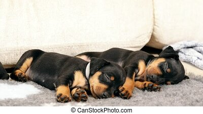 Two Small Black Miniature Pinscher Zwergpinscher, Min Pin...