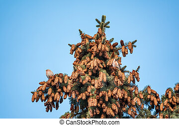 Two small common redpoll birds, Acanthis flammea, sits on top of a fir tree among cones against a blue sky.