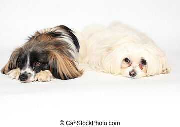two small dogs lying on a white background