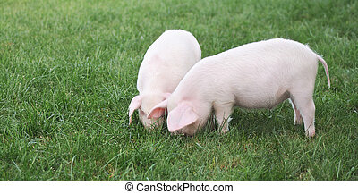 small pigs - Two small pigs on a green grass