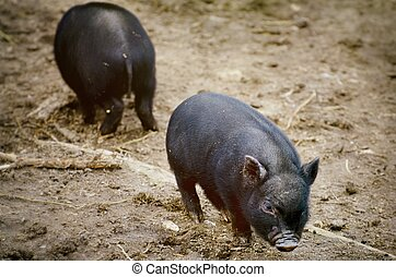 Two Small Pigs