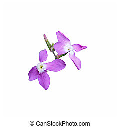 Two small purple flowers isolated on a white background