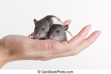 two small rats