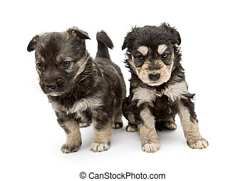 Two small, serious puppy pooch, isolated on a white...