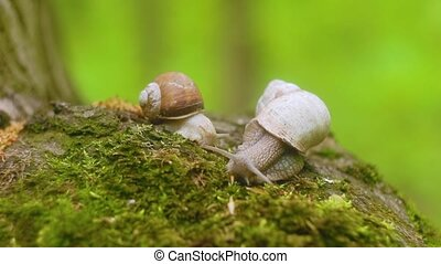 Two snails crawling over moss in the forest.