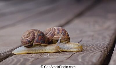 Two snails in love. Close up - Two big garden snails...