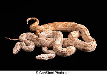 Trimeresurus puniceus - Two snakes Trimeresurus puniceus, ...