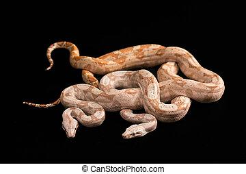 Trimeresurus puniceus - Two snakes Trimeresurus puniceus,...