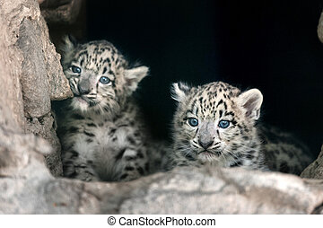 Two Snow leopard baby