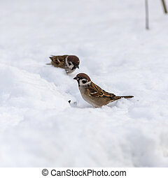 two sparrow on snow