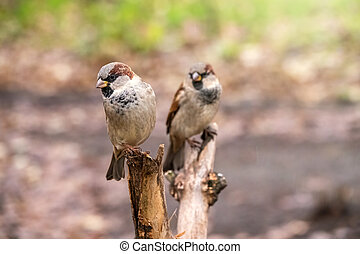 Two sparrows are sitting on a branch with a blurred background.