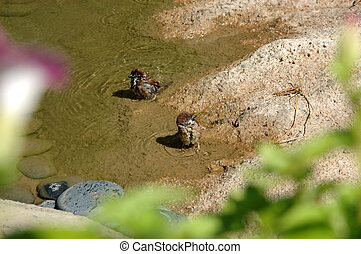 Two sparrows bathe in water