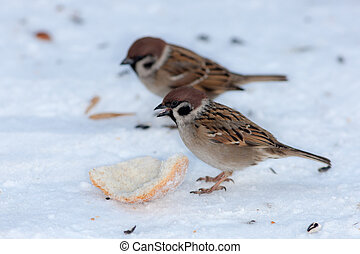 sparrow has found a piece of bread in the snow