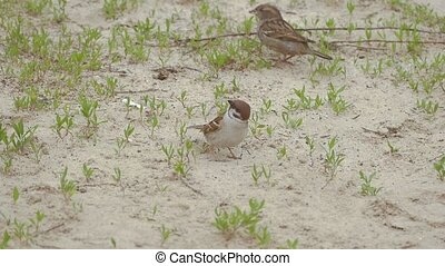 two sparrows jump on the ground slow motion video - closeup...