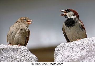 Two sparrows on a stone with the open beak