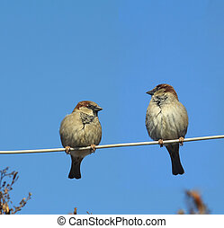 Two sparrows on a wire